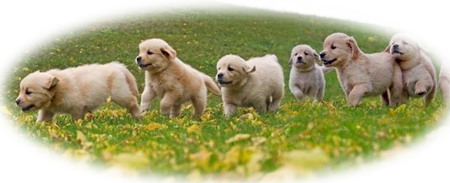 Maplelane Goldens Puppies